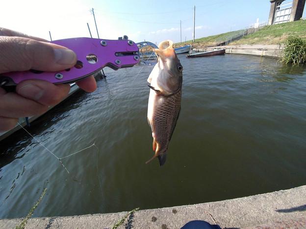 写真: 鯉っ子