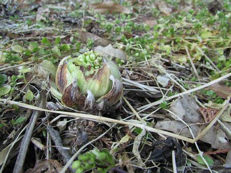 小美玉市にも春が。ふきのとう、たけのこ の巻