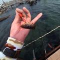 写真: デキアイナメ