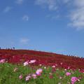 コキアと青空と秋桜と