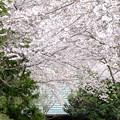 写真: 桜の参道