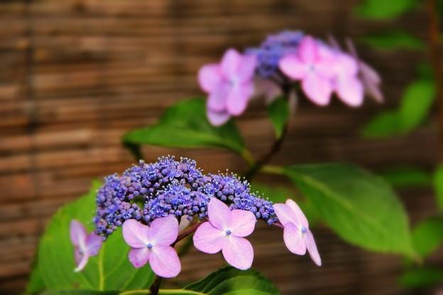 紫陽花と簾