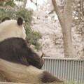 写真: お花見パンダ