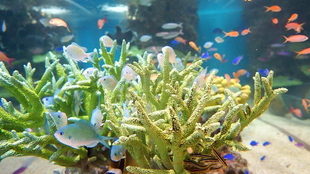 テバスズメダイと珊瑚