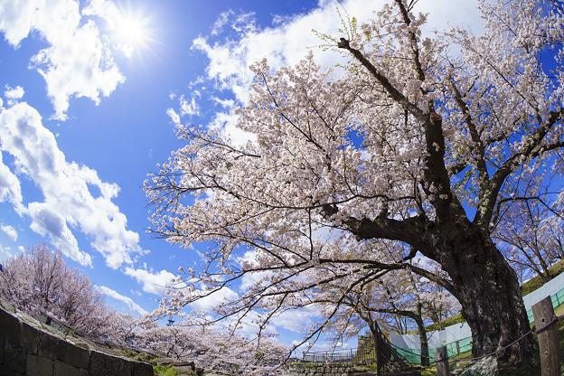 青空と桜と太陽と。