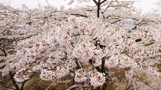 迫ってくる桜