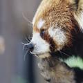 考える小熊猫