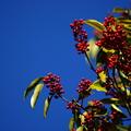 写真: 赤い実と青空