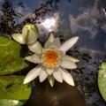 Photos: 2014年7月30日 蓮華寺池公園 睡蓮 (3)