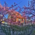 熱海桜(1) HDR