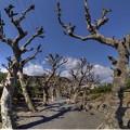 写真: 2016年2月7日 興津 果樹研究所 プラタナス並木(2)
