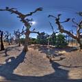 Photos: 2016年2月7日 興津 国立果樹研究所 プラタナス並木 360度パノラマ写真 HDR