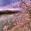 牧之原市 勝間田川の桜 (1) HDR