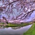 牧之原市 勝間田川の桜 (4) HDR