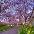 牧之原市 勝間田川の桜 (5) HDR