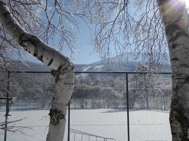 白樺と雨氷