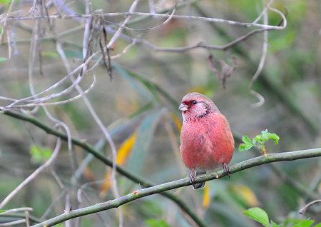 紅色した可愛い鳥^^
