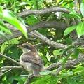 百舌鳥の雛8