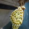 ツマグロヒョウモン7月羽化2