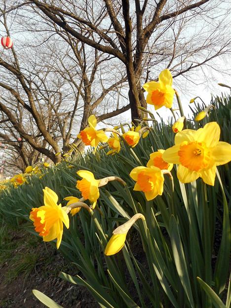 春の散歩道2016.3-5