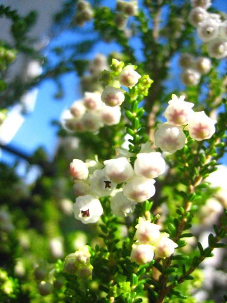 スズランエリカの花2