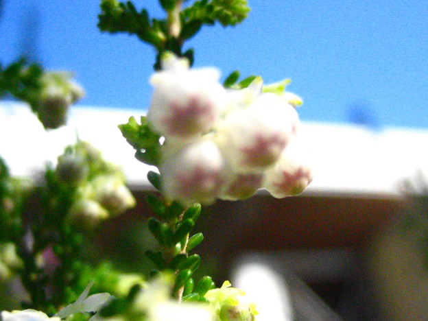 スズランエリカの花3