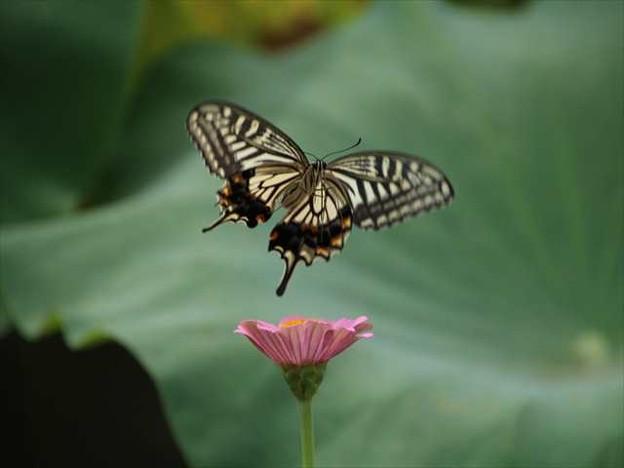写真: ジニアとアゲハ蝶