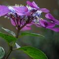 紫色に咲き誇る