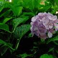 終戦記念日を前日に控え可憐な紫陽花とともに永遠の平和を祈る