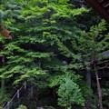 圧巻の緑もみじの大木
