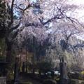 妙覚禅寺の桜の大木、圧巻