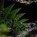 シダ的植物を森の中で撮影してみた