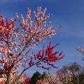 冬になったばかりですが春を先取り…2015年4月撮影