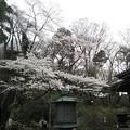 Photos: 灯篭と桜