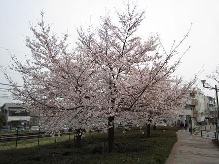 南平バス停前の桜1