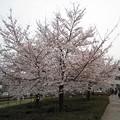 Photos: 南平バス停前の桜1