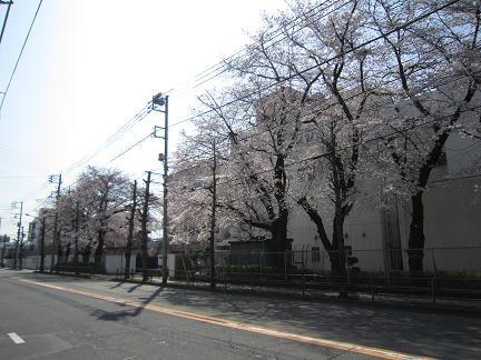 旭が丘小学校の桜