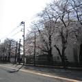 Photos: 旭が丘小学校の桜