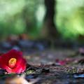 木漏れ日の朽ち椿