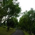 写真: 写真00406  ジャガランタの並木