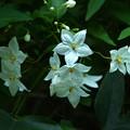 写真: 写真00329  パッシフロラビオラセア