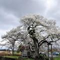 Photos: 写真00151 七ッ田の弘法桜・・・樹齢800年