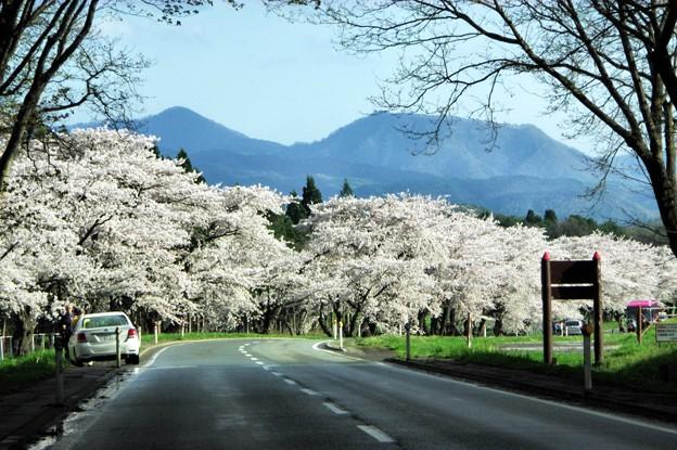 Photos: 写真00298 小岩井農場の桜並木