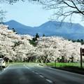 写真00298 小岩井農場の桜並木