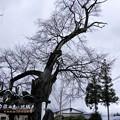 Photos: 写真00060 開花すらまだの 白山桜 ・・・樹齢450年