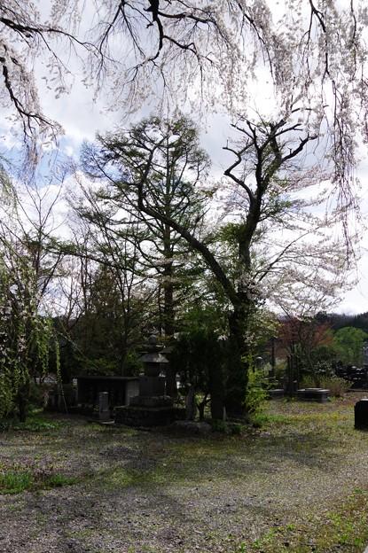 写真00563  喜清院のシダレザクラ・・・不明