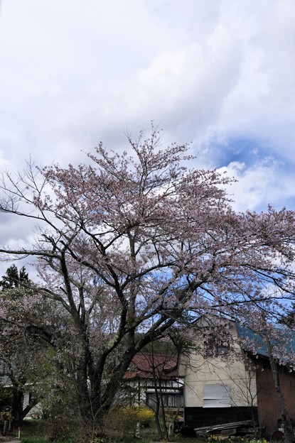 写真00589 喜清院のエドヒガン