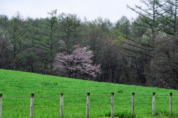 写真00731 オオヤマザクラにはこのような景色がお似合い