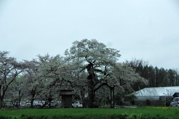 写真00756 七ッ田の弘法桜・・・樹齢800年