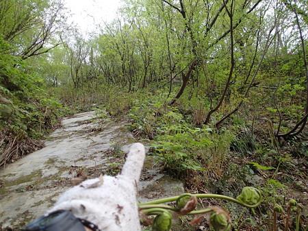 ゼンマイが大量に生える崖